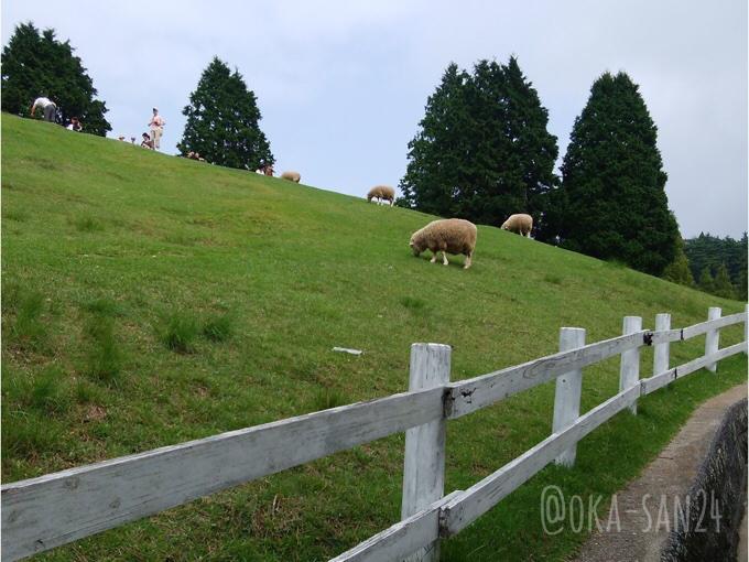 六甲山牧場の羊 放牧