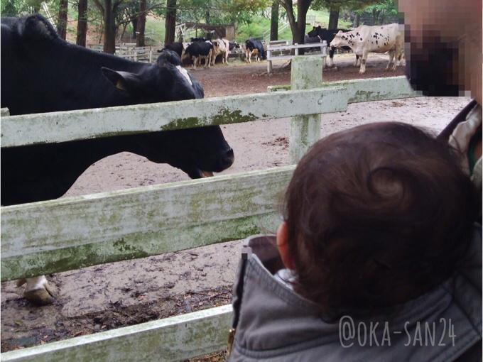 六甲山牧場の牛
